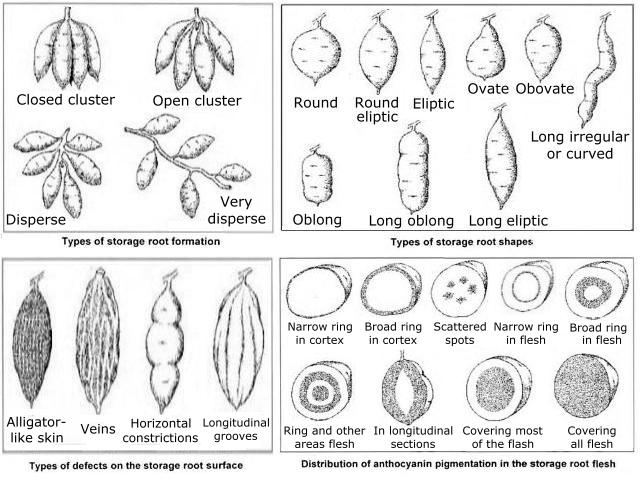 10g figure 10 type of storage root formation top left types of defects on the storage root surface lower left types of storage root shapes top right ccuart Gallery